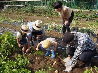 NPO菜園で親子タマネギ/ジャガイモ引き抜き収穫体験