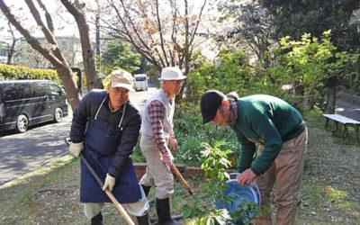 3月30日の好天、サクラ満開日に玉縄桜の幼木3本の植栽