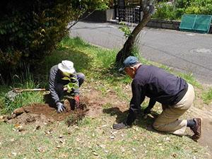 4月24日 滝ノ入北公園・飛地に実生の桜の幼木を3本追加植栽し5本になりました!