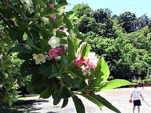 TSKI 初夏の緑のボラ活:雑草抜き・清掃&ミニ剪定⇒ウイルス免疫力向上(R2年5月夏日)